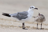 Laughing Gull and Chick