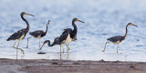 Five Tricolored Herons