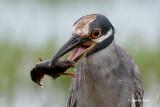 Yellow-crowned Night Heron - Crawfish