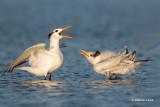 Royal Terns, Chick