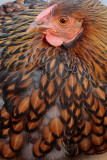Golden-laced Wyandotte
