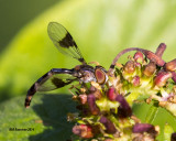 5F1A0701_Ocyptamus fascipennis female.jpg