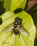 5F1A2471 Bee Fly.jpg