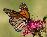 5F1A3175 Monarch.jpg