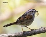 5F1A6330 Swamp Sparrow.jpg
