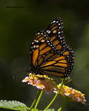 5F1A7128 Monarch.jpg