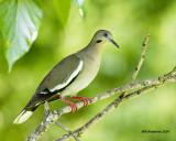 5F1A9396 White-wing Dove.jpg
