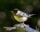 5F1A1659 Bay-breasted Warbler.jpg