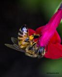 5F1A1838 Honey Bee.jpg
