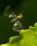 5F1A3072 Long-legged fly.jpg