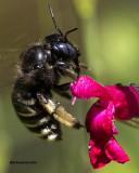 5F1A5865 Carpenter Bee.jpg