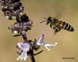5F1A9663 Honeybee.jpg