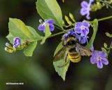5F1A9958 Bumble bee.jpg