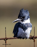 5F1A5857 Belted Kingfisher.jpg