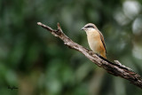 Brown Shrike (Lanius cristatus, migrant)   Habitat - Common in all habitats at all elevations.  Shooting Info - Baroro, Bacnotan, La Union, Philippines, September 21, 2014, Canon 7D + 500 f4 L IS + Canon 1.4x II,  700 mm, ISO 640, 1/250 sec, f/5.6, manual exposure in available light, handheld, uncropped full frame.