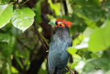 Red-crested Malkoha (Phaenicophaeus superciliosus, a Philippine endemic)  Habitat – Lowland forest, edge and second growth.  Shooting info - Mt. Makiling, Laguna, Philippines, October 15, 2014, Canon EOS 7D Mark II + EF 600 f4 IS II + EF 1.4x TC II,  840 mm, f/5.6, ISO 3200, 1/250 sec, manual exposure in available light, spot AI servo, 475B/516 support, uncropped full frame resized to 1500x1000.