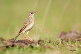 Paddyfield Pipit (Anthus rufulus, resident, formerly called Richard's Pipit)   Habitat - On the ground in open country, grasslands, ricefields and parks.   Shooting Info - Talogtog, San Juan, La Union, November 1, 2014, Canon 5D MIII + EF 500 f4 L IS + EF 1.4x TC II, 700 mm,  f/6.3, ISO 640, 1/1250 sec, manual exposure in available light, hand held.