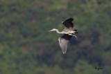 Grey Heron (Ardea cinerea, migrant)   Habitat - Uncommon in wetlands.   Shooting info - Sto. Tomas, La Union, Philippines, November 22, 2014, Canon 1D MIV + 500 f4 L IS + 1.4x TC II,  700 mm, f/7.1, ISO 320, 1/1600 sec, manual exposure in available light, Uniqball UBH45/Manfrotto 455B support.