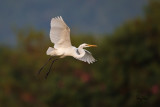 Great Egret (Egretta alba, migrant)  Habitat - Uncommon in a variety of wetlands from coastal marshes to ricefields.   Shooting info - Sto. Tomas, La Union, January 9, 2015, Canon 1D MIV + EF 500 f4 L IS, 500 mm, f/4, ISO 1250, 1/2000 sec, 475B/3421 support.