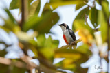 Red-keeled Flowerpecker (Dicaeum australe, a Philippine endemic)   Habitat - Canopy of forest, edge and flowering trees.   Shooting info - Bacnotan, La Union, Philippines, March 5, 2015, Canon 7D + 500 f4 IS + Canon 1.4x TC II,  700 mm, f/6.3, ISO 640, 1/500 sec, 475B/516 support, manual exposure in available light, near full frame resized to 1500x1000.