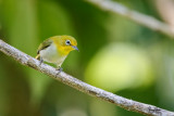 Lowland White-eye (Zosterops meyeni, a near Philippine endemic)   Habitat - Second growth, scrub and gardens.   Shooting info - Bacnotan, La Union, Philippines, June 28, 2015, Canon 5D MIII + 400 2.8 IS + Canon 2x TC II, 800 mm, f/5.6, ISO 320, 1/400 sec,  475B/516 support, manual exposure in available light (pushed 1.7 stops in PP), near full frame resized to 1500x1000.