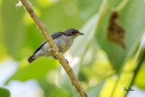 Red-keeled Flowerpecker (Dicaeum australe, a Philippine endemic, immature)   Habitat - Canopy of forest, edge and flowering trees.   Shooting info - Bacnotan, La Union, Philippines, June 28, 2015, Canon 5D MIII + 400 2.8 IS + Canon 2x TC II,  800 mm, f/5.6, ISO 320, 1/320 sec, 475B/516 support, manual exposure in available light, near full frame resized to 1500x1000.