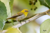 Lowland White-eye (Zosterops meyeni, a near Philippine endemic)   Habitat - Second growth, scrub and gardens.   Shooting info - Bacnotan, La Union, Philippines, June 29, 2015, Canon 5D MIII + 400 2.8 IS + Canon 2x TC II,  800 mm, f/5.6, ISO 1600, 1/200 sec, 475B/516 support, manual exposure in available light, near full frame resized to 1500x1000.