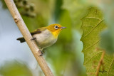Lowland White-eye (Zosterops meyeni, a near Philippine endemic)   Habitat - Second growth, scrub and gardens.   Shooting info - Bacnotan, La Union, Philippines, June 29, 2015, Canon 5D MIII + 400 2.8 IS + Canon 2x TC II,  800 mm, f/5.6, ISO 3200, 1/200 sec, 475B/516 support, manual exposure in available light, near full frame resized to 1500x1000.