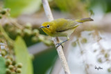 Lowland White-eye (Zosterops meyeni, a near Philippine endemic)   Habitat - Second growth, scrub and gardens.   Shooting info - Bacnotan, La Union, Philippines, June 29, 2015, Canon 5D MIII + 400 2.8 IS + Canon 2x TC II,  800 mm, f/5.6, ISO 2500, 1/250 sec, 475B/516 support, manual exposure in available light, near full frame resized to 1500x1000.