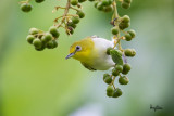 Lowland White-eye (Zosterops meyeni, a near Philippine endemic)   Habitat - Second growth, scrub and gardens.   Shooting info - Bacnotan, La Union, Philippines, July 6, 2015, Canon 5D MIII + 400 2.8 IS + Canon 2x TC II,  800 mm, f/5.6, ISO 1600, 1/250 sec, 475B/516 support, manual exposure in available light, near full frame resized to 1500x1000.