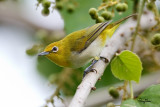 Lowland White-eye (Zosterops meyeni, a near Philippine endemic)   Habitat - Second growth, scrub and gardens.   Shooting info - Bacnotan, La Union, Philippines, July 6, 2015, Canon 5D MIII + 400 2.8 IS + Canon 2x TC II,  800 mm, f/5.6, ISO 1600, 1/320 sec, 475B/516 support, manual exposure in available light, major crop resized to 1500x1000.