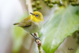 Lowland White-eye (Zosterops meyeni, a near Philippine endemic)   Habitat - Second growth, scrub and gardens.   Shooting info - Bacnotan, La Union, Philippines, July 6, 2015, Canon 5D MIII + 400 2.8 IS + Canon 2x TC II,  800 mm, f/5.6, ISO 3200, 1/320 sec, 475B/516 support, manual exposure in available light, near full frame resized to 1500x1000.