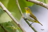 Lowland White-eye (Zosterops meyeni, a near Philippine endemic)   Habitat - Second growth, scrub and gardens.   Shooting info - Bacnotan, La Union, Philippines, July 12, 2015, Canon 5D MIII + 400 2.8 IS + Canon 2x TC II,  800 mm, f/5.6, ISO 320, 1/500 sec, 475B/516 support, manual exposure in available light, near full frame resized to 1500x1000.