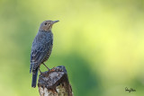 Blue Rock-Thrush (Monticola solitarius, migrant, female)   Habitat - Rocky exposed slopes, road cuts, and along rocky streams and rivers.   Shooting Info - Bued River, Rosario, La Union, Philippines, October 8, 2015, Canon 7D + 400 2.8 IS + 2x TC II,  800 mm, f/5.6, ISO 200, 1/80 sec, 475B/516 support, manual exposure in available light, uncropped full frame resized to 1500x1000.