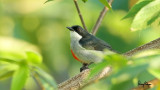 Red-keeled Flowerpecker (Dicaeum australe, a Philippine endemic)   Habitat - Canopy of forest, edge and flowering trees.   Shooting info - Bued River, Rosario, La Union, Philippines, October 27, 2015, Canon 7D + 400 2.8 IS + Canon 2x TC II, 800 mm, f/6.3, ISO 320, 1/60 sec,  475B/516 support, manual exposure in available light, video grab from a 1080p capture, uncropped full frame resized to 1280x720