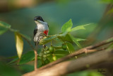 Red-keeled Flowerpecker (Dicaeum australe, a Philippine endemic)   Habitat - Canopy of forest, edge and flowering trees.   Shooting info - Bued River, Rosario, La Union, Philippines, October 29, 2015, Canon 5D MIII + 400 2.8 IS + Canon 2x TC II, 800 mm, f/5.6, ISO 640, 1/250 sec,  475B/516 support, manual exposure in available light, near full frame resized to 1500x1000.