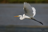 Great Egret (Egretta alba, migrant)   Habitat - Uncommon in a variety of wetlands from coastal marshes to ricefields.   Shooting Info - Sto. Tomas, La Union, Philippines, November 7, 2015, EOS 7D MII + EF 400 DO IS II + EF 1.4x TC III,  560 mm, f/6.3, 1/3200 sec, ISO 320, manual exposure in available light, hand held, uncropped full frame resized to 1500 x 1000.