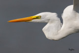 Great Egret (Egretta alba, migrant)   Habitat - Uncommon in a variety of wetlands from coastal marshes to ricefields.   Shooting Info - Sto. Tomas, La Union, Philippines, November 7, 2015, EOS 7D MII + EF 400 DO IS II + EF 1.4x TC III,  560 mm, f/6.3, 1/3200 sec, ISO 320, manual exposure in available light, hand held, 100 % crop.