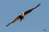 Brahminy Kite (Haliastur indus, resident)   Habitat - Open areas often near water, and also in mountains to 1500 m.   Shooting Info - Sto. Tomas, La Union, Philippines, November 7, 2015, EOS 7D MII + EF 400 DO IS II + EF 1.4x TC III,  560 mm, f/7.1, 1/2000 sec, ISO 320, manual exposure in available light, hand held, major crop resized to 1500 x 1000.