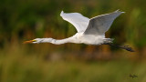 Great Egret (Egretta alba, migrant)   Habitat - Uncommon in a variety of wetlands from coastal marshes to ricefields.   Shooting Info - Sto. Tomas, La Union, Philippines, November 7, 2015, EOS 7D MII + EF 400 DO IS II + EF 1.4x TC III,  560 mm, f/7.1, 1/2000 sec, ISO 320, manual exposure in available light, hand held, near full frame resized to 1920 x 1080.