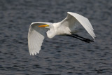 Great Egret (Egretta alba, migrant)   Habitat - Uncommon in a variety of wetlands from coastal marshes to ricefields.   Shooting Info - Sto. Tomas, La Union, Philippines, November 7, 2015, EOS 7D MII + EF 400 DO IS II + EF 1.4x TC III,  560 mm, f/6.3, 1/3200 sec, ISO 320, manual exposure in available light, hand held, near full frame resized to 1500 x 1000.