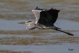 Grey Heron (Ardea cinerea, migrant)   Habitat - Uncommon in wetlands.   Shooting Info - Sto. Tomas, La Union, Philippines, November 7, 2015, EOS 7D MII + EF 400 DO IS II + EF 1.4x TC III,  560 mm, f/6.3, 1/2500 sec, ISO 320, manual exposure in available light, hand held, major crop resized to 1500 x 1000.