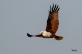 Brahminy Kite (Haliastur indus, resident, adult)   Habitat - Open areas often near water, and also in mountains to 1500 m.   Shooting Info - Sto. Tomas, La Union, Philippines, November 11, 2015, EOS 7D MII + EF 400 DO IS II + EF 1.4x TC III,  560 mm, f/6.3, 1/2000 sec, ISO 400, manual exposure in available light, hand held, major crop resized to 1500 x 1000.