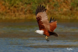 Brahminy Kite (Haliastur indus, resident, adult)   Habitat - Open areas often near water, and also in mountains to 1500 m.   Shooting Info - Sto. Tomas, La Union, Philippines, November 11, 2015, EOS 7D MII + EF 400 DO IS II + EF 1.4x TC III,  560 mm, f/7.1, 1/2000 sec, ISO 320, manual exposure in available light, hand held, major crop resized to 1500 x 1000.