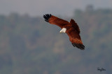 Brahminy Kite (Haliastur indus, resident) 