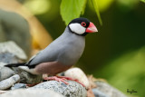 Java Sparrow (Padda oryzivora, resident)   Habitat - Uncommon in parks, residential areas and scrub, sometimes in neighboring ricefields.   Shooting Info - Bued River, Rosario, La Union, Philippines, November 13, 2015, EOS 7D MII + EF 400 DO IS II + EF 1.4x TC III,  560 mm, f/5.6, 1/200 sec, ISO 320, manual exposure in available light, hand held, uncropped full frame resized to 1500 x 1000.