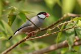 Java Sparrow (Padda oryzivora, resident)   Habitat - Uncommon in parks, residential areas and scrub, sometimes in neighboring ricefields.   Shooting Info - Bued River, Rosario, La Union, Philippines, November 13, 2015, EOS 7D MII + EF 400 DO IS II + EF 1.4x TC III,  560 mm, f/5.6, 1/400 sec, ISO 200, manual exposure in available light, hand held, uncropped full frame resized to 1500 x 1000.