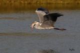 Grey Heron (Ardea cinerea, migrant)   Habitat - Uncommon in wetlands.   Shooting Info - Sto. Tomas, La Union, Philippines, November 7, 2015, EOS 7D MII + EF 400 DO IS II + EF 1.4x TC III,  560 mm, f/7.1, 1/2000 sec, ISO 320, manual exposure in available light, hand held, major crop resized to 1500 x 1000.