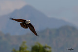 Brahminy Kite (Haliastur indus, resident, adult)   Habitat - Open areas often near water, and also in mountains to 1500 m.   Shooting Info - Sto. Tomas, La Union, Philippines, November 21, 2015, EOS 7D MII + EF 400 DO IS II + EF 1.4x TC III,  560 mm, f/7.1, 1/2000 sec, ISO 320, manual exposure in available light, hand held, 11.8 MP crop resized to 1575 x 1050.