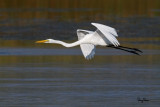 Great Egret (Egretta alba, migrant)   Habitat - Uncommon in a variety of wetlands from coastal marshes to ricefields.   Shooting Info - Sto. Tomas, La Union, Philippines, November 21, 2015, EOS 7D MII + EF 400 DO IS II + EF 1.4x TC III,  560 mm, f/7.1, 1/2500 sec, ISO 320, manual exposure in available light, hand held, 10.1 MP crop resized to 1500 x 1000.